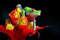 Agalychnis callidryas. Red eyed tree frog on a Guzmania flower. Costa Rica.