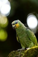 Amazona amazonica. Portrait of an orange-winged amazon on a mossy rock. Salvation islands. French Guiana.
