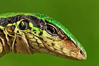 Ameiva ameiva. Green ameiva. South american ground lizard, very common in the gardens and in the forests opened areas. French Guiana.