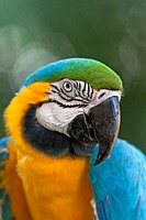 Ara ararauna. Blue and gold macaw, or blue and yellow macaw. Portrait. Salvation islands. French Guiana.