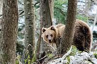 Brown bear (Ursus arctos) in the Slovenian Forest. Slovenia.