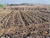 Almond trees in Pinto. Madrid. Spain. Europe.