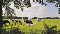 Herd of cows on pasture seen through open space in trees - timelapse