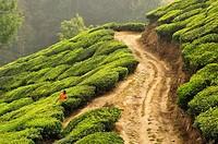 woman in a tea plantation near Munnar, Kerala, India.