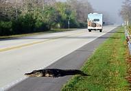 Alligator crosses the road.
