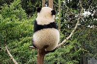 Giant panda, ChengDu panda Base, Sichuan , China.