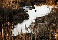Canada, BC, Delta. Reifel Bird Sanctuary. Great Blue Heron (Ardea herodias) standing beside flood control canal in the Fraser River estuary near Vanco...