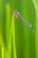Blue-tailed Damselfly (Ischnura elegans) on blade of grass.