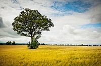 Late Summer evening with Harvest crop of Barley. Lone young beech tree stands in the field. Co Kildare, Ireland