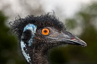 Head of Emu, Dromaius novaehollandiae, Brisbane, Australia.