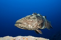 Malabar Grouper, Epinephelus malabaricus, Great Barrier Reef, Australia.