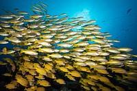 Shoal of Bigeye Snapper and Fivelined Snapper, Lutjanus lutjanus, Great Barrier Reef, Australia.