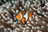 Clown Anemonefish, Amphiprion percula, Great Barrier Reef, Australia.