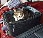 Cat in a suitcase. Domestic long-haired cat.