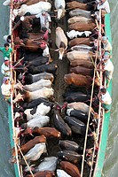 BANGLADESH, Dhaka: Bangladeshi cattle dealers transport cows in readiness for slaughter along a river in Dhaka, October 11, 2013, ahead of the Eid al-...