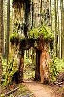 a tree with a door carved in it in the forest in North Vancouver, BC, Canada.
