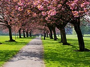 Cherry Blossom on The Stray in Spring Harrogate North Yorkshire England.
