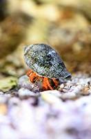 Close-up of a Hermit crab (Calcinus laevimanus) in an aquarium under water