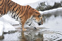 Close-up of a Siberian tiger (Panthera tigris altaica) in winter.
