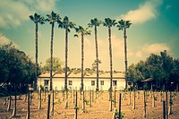 Vintage Style Palm Trees in a Vinyard