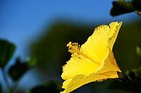Hibiscus yellow Venezuela.