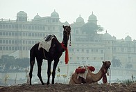 Decorated dromedaries in front of the City palace at Udaipur ( India).
