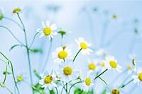 atmospheric feverfew, charming daisy-like tansy.
