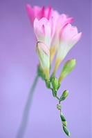 gentle pink freesia stem as sweet as its fragrance.