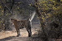 Bengal Tiger (Panthera tigris tigris) marking territory at tree, Ranthambhore national park, Rajastan, India.