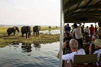 Tourists on a boat cruise on the Chobe River observe a group of feeding African Elephants (Loxodonta africana). Chobe National Park, Botswana.