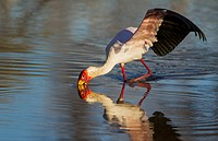 Yellow-billed Stork (Mycteria ibis) - Hunting in a pool with its wings open to keep balance. Okavango Delta, Moremi Game Reserve, Botswana.