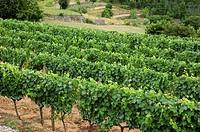 Vineyard in France near the village Salymes, Ardèche, Rhône-Alpes, Europe.