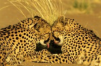 Cheetah (Acinonyx jubatus) - Grooming pair, photographed in captivity on a farm. . Namibia.
