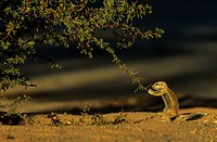 Cape Ground Squirrel (Xerus inauris) - Young, cautiously feeding at a thornbush. Kalahari Desert, Kgalagadi Transfrontier Park, South Africa.