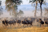 Wildebeest (Connochaetus taurinus), gnu, at sunrise during the great migration, Serengeti national park, Tanzania.