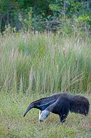 The endangered Giant anteater (Myrmecophaga tridactyla) at Caiman Ranch in the Southern Pantanal in Brazil.