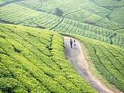 Tea plantation in Conoor, Tamil Nadu, India.