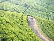 Tea plantation in Conoor, Tamil Nadu, India.