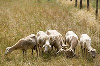 europe, italy, tuscany, sticciano area, sheeps to pasture.