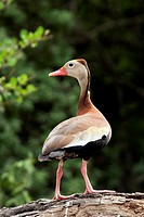 Black-Bellied Whistling-Duck - Camp Lula Sams - Brownsville, Texas USA.