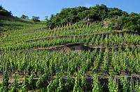 Vineyard, vine industry, Cornas , Ardeche, Rhone ALpes, Rhone Valley, France, Europe.