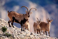 Ibex (Capra pyrenaica), adult male with a group of young males and females, in the natural park Els Ports. Tarragona. Spain.