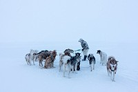 Inuit hunter untangling the lines on his dog team on the sea ice in a snow storm.
