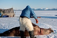 Subsistence inuit hunter preparing to butcher a juvenile Atlantic walrus on the sea ice in spring. The meat will be eaten by both people and their dog...