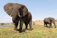 African Elephant (Loxodonta africana), eating, Chobe National Park, Botswana.
