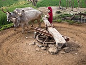 Cow-driven water wheel in Ranankpur, Rajasthan, India