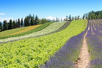 Irodori field of Tomita farm in Furano, Japan, Hokkaido.