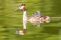 Great Crested Grebe -Podiceps cristatus- in the Lac du Bourget, Savoie, Rhône-Alpes, Francia.