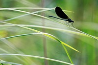 Calopteryx virgo, swamp of Herretang, Saint Laurent du Pont, Nature of the french Alps, Isere, Rhone Alpes, France.