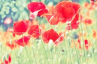 Low angle view of red poppies (Papaver rhoeas).